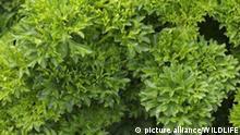 DEU, 2008: Krause Petersilie (Petroselinum crispum), Sorte: Grandeur. [en] Curly Leaf Parsley (Petasites paradoxus), variety: Grandeur.   DEU, 2008: Curly Leaf Parsley (Petasites paradoxus), variety: Grandeur. pixel