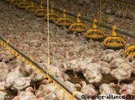 Flashgalerie Wochenrückblick KW 46 ARCHIV - Tausende Hühner in einem Stall eines Geflügelmastbetriebes im brandenburgischen Storkow (Oder-Spree), aufgenommen am 03.09.2009. Die Hähnchenmäster in Niedersachsen setzen immer mehr Antibiotika ein. Gaben die Landwirte vor zehn Jahren noch durchschnittlich 1,7 Behandlungen, seien es heute 2,3, berichtet NDR Info. Ohne Antibiotika würden die zu Tausenden eng zusammengepferchten Tiere häufig nicht bis zum Ende ihrer Mastzeit überleben Foto: Patrick Pleul dpa (zu dpa 0025 vom 25.10.2010)  +++(c) dpa - Bildfunk+++