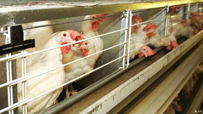 Flash-Galerie Hühner in einer Legebatterie (AP)