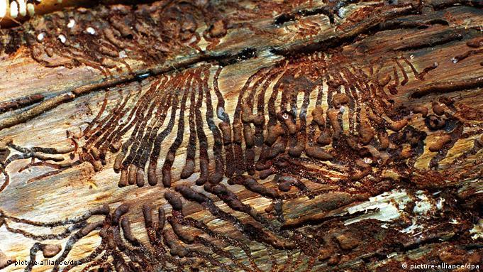 Дерево роз'їдене зсередини жуком-короїдом