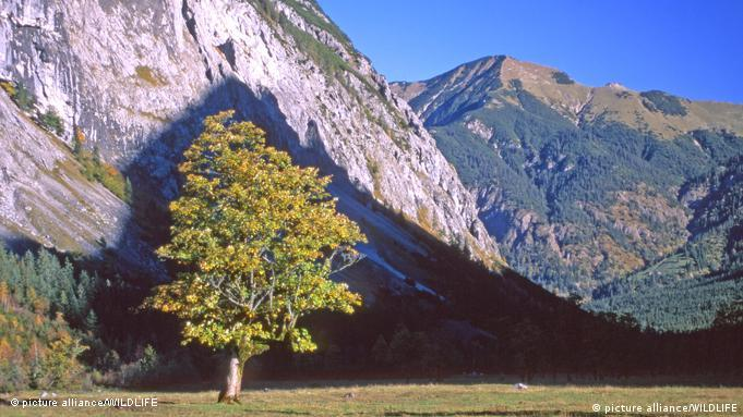 Maple tree against mountain