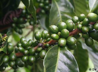 Grüne Kaffeebohnen an der Pflanze