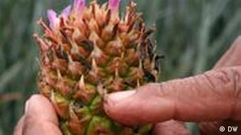 Costa Rica Fair gehandelte Ananas in Nahaufnahme