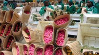 Schnittblumen aus Kenia - zu Hungerlöhnen geerntet