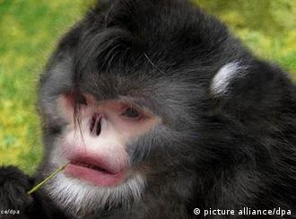 Esta espécie de macaco precisa espirrar quando chove, relatam locais que já conhecem o animal há muito mais tempo do que a comunidade científica