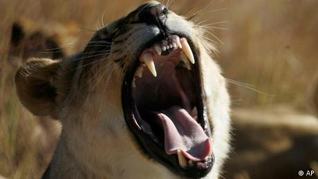 A tiger with an open mouth Photo: AP Photo/Jerome Delay