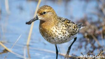 Spoon-billed Sandpiper (RSPB Images)
