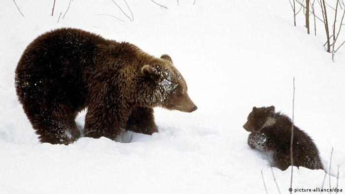 Brown bear mother watching over cub as it struggles through snow in winter (picture-alliance/dpa)