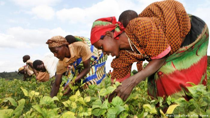 Women harvesting crops in Burundi (picture-alliance/Ton Koene)