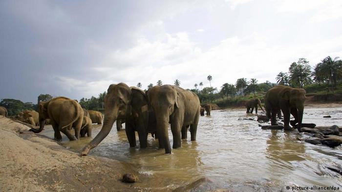 Sri Lankan elephants drinking water
