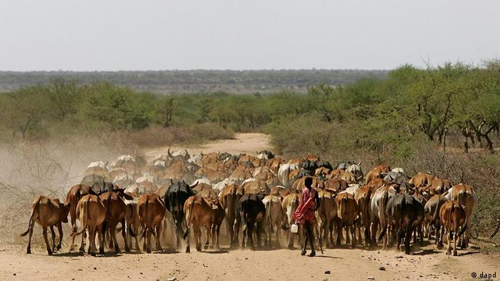 A Masai boy herd his cattle to a dry river bed in search of water, Thursday, Feb. 2, 2006 in the Kajiado district some 70 kilometers south of Nairobi, Kenya.