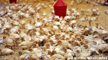 ARCHIV - Zwei Wochen alte Putenküken leben in einem Stall auf einem Geflügelhof im Kreis Oldenburg am 14.12.2010. Nach den Dioxin-Funden in Futtermitteln sperrt Niedersachsen vorsorglich rund 1000 landwirtschaftliche Betriebe. Betroffen sind Legehennen-Farmen, Schweine- und Putenzüchter. Die gesperrten Betriebe sollen mit Dioxin belastetes Futterfett bezogen haben. Ein Sprecher des Agrarministeriums in Hannover sagte: «Wir legen erstmal alles still. Der Verbraucherschutz geht vor.» Foto: Carmen Jaspersen dpa/lni +++(c) dpa - Bildfunk+++