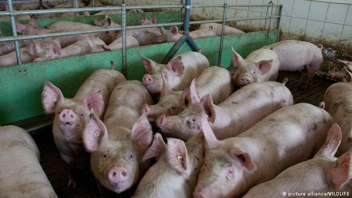 Schweine Massentierhaltung