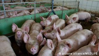 Hausschweine in Massentierhaltung zusammengepfercht in einer kleinen Boxen