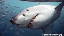Hai Fisch Australien Victoria