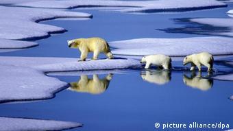 A row of polar bears