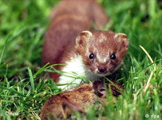 A crack German weasel in training for Operation: Kill Bugs