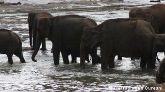Elephants drink and wade in the river