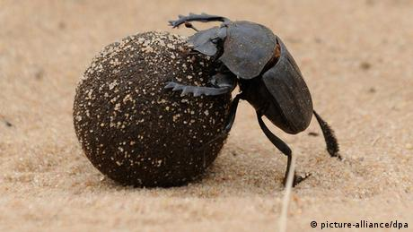 Photo: dung beetle