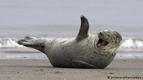 Laughing gray seal (picture-alliance/dpa)