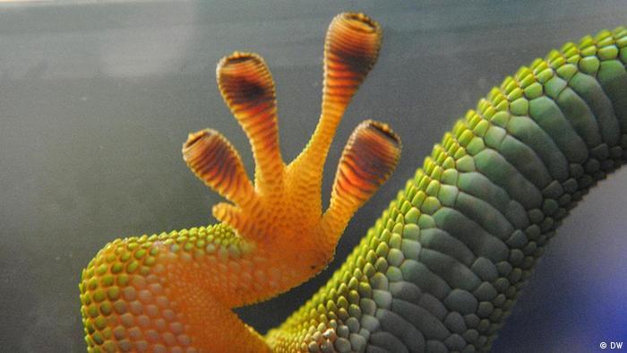 La pata de un gecko.