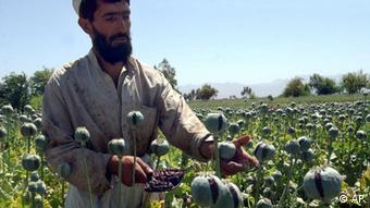 An Afghan farmer collecting opium resin from his poppy plants