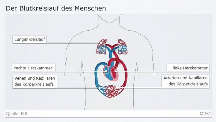Infografik Herz 2 Blutkreislauf