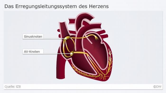 Infografik Herz 3 Erregungsleitungssystem