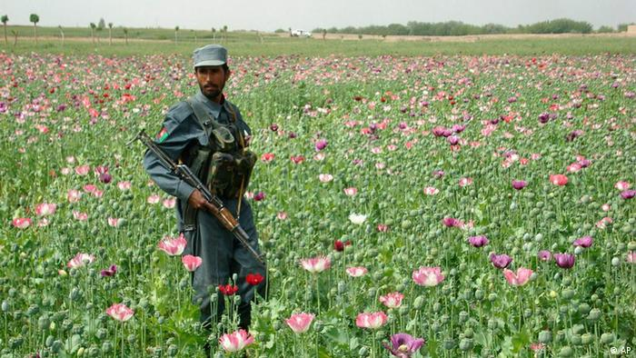 An Afghan police officer stands guard in a poppy field in Lashkargah, Afghanistan's Helmand province during poppy eradication operations on Saturday, April 11, 2009. (ddp images/AP Photo/Abdul Khaleq)