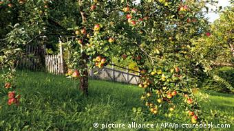 Apple trees in an orchard
