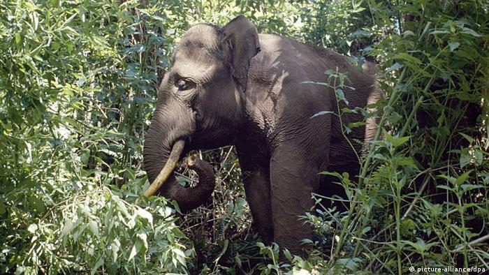 Sumatran elephant (c) Daniel Heuclin/NHPA Uppa Photoshot