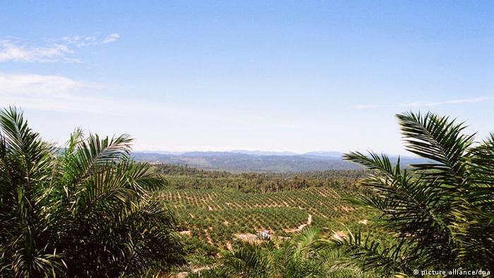 A palm oil plantation in Karmila Parakkasi, Indonesia