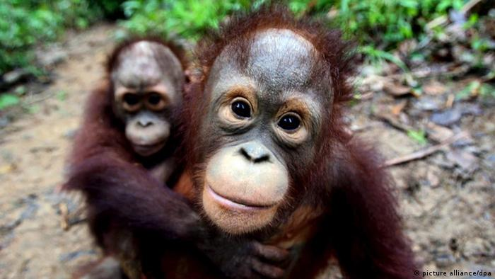 A mother orangutans and her male son look into the camera - at an orangutan school inside the Borneo Orangutan Survival Foundation