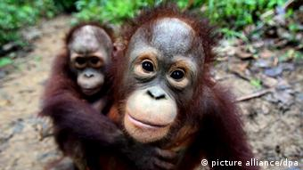 A mother orangutan and her son