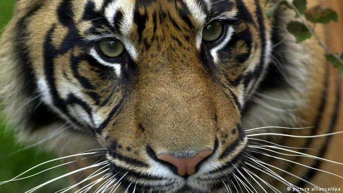 Umweltstiftung WWF Bedrohungen für Tiger nehmen zu