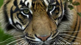 A Sumatran tiger in Dublin zoo. (Photo: Hydon West)