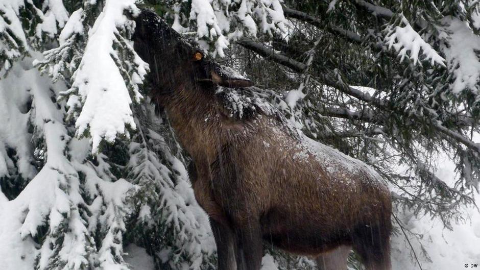 chamois hunt in bosnia