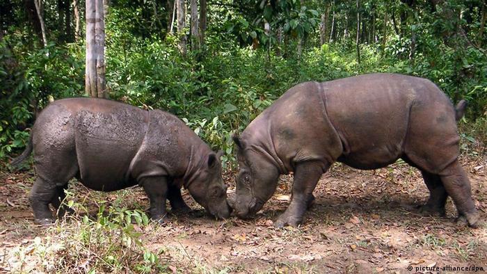 A pair of highly endangered Sumatran rhinos.