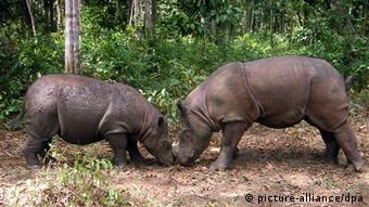 Two Sumatran rhinos. EPA/YABI HANDOUT NO SALES / EDITORIAL USE ONLY
