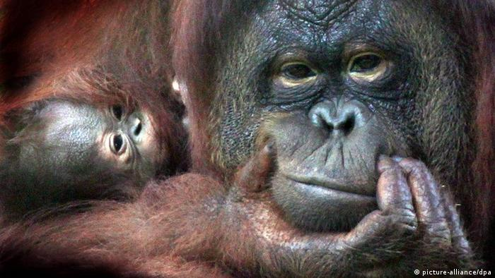 Orangutan mother with baby (Photo: EPA/M.A.PUSHPA KUMARA)