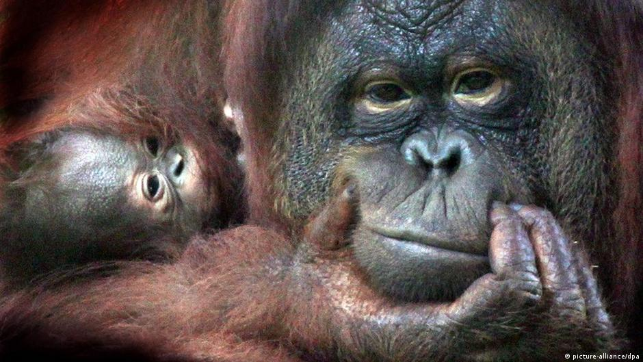 Orangutan population plunges due to hunting and