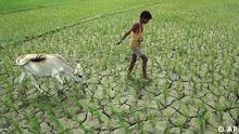 A boy pulls a cow through a dry paddy field in Jamtola village, about 59 kilometers (37 miles) west of Gauhati, India, Wednesday, Aug. 23, 2006. Farmers in Assam and other parts of northeast India are facing drought like situation due to less rainfall and extreme heat this year. Assam Government has waived land tax for affected farmers and had announced special holidays for schools from Aug. 15 to 20 in view of the heat spell. (ddp images/AP Photo/ Anupam Nath)