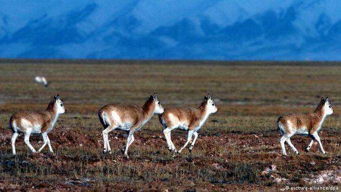 Tibetantilopen Chiru in China
