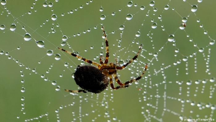 Eine Spinne sitzt in einem Spinnennetz, das mit Tautropfen überzogen ist. (Foto: Patrick Seeger dpa/lsw)