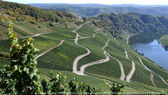 Виноградники с рислингом на реке Мозель