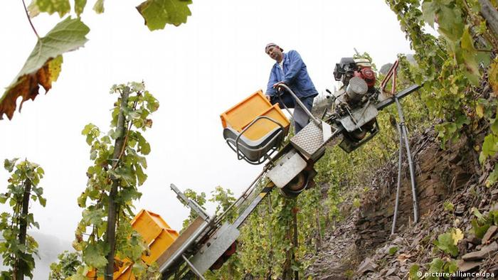 Weinlese an der Mosel (picture-alliance/dpa)