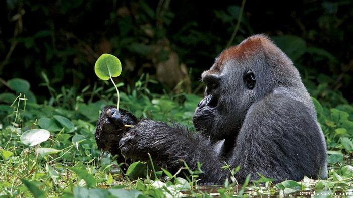 Quelle: http://www.flickr.com/photos/19973206@N03/6268166045/ Lizens: http://creativecommons.org/licenses/by-sa/2.0/deed.de +++Copyright: CC/by-sa-sentouno +++ 06.02.2012, Silberrücken Gorilla, Ruanda Untertitel: Bedroht durch Bevölkerungswachstum, Wilderei und Abholzung: Berggorillas, die im Kongo, Ruanda und Uganda leben