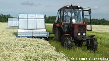 GRODNENSKY REGION, BELARUS. JULY 13, 2009. Wild chamomile picking at the Bolshoye Mozheykovo collective farm. (Photo ITAR-TASS / Leonid Shcheglov) +++(c) dpa - Report+++ Schlagworte mäschdrescher, kamille, kamilleblüten, Heilpflanze, Arzneipflanze, Traktor, Trecker, Frontansicht, Landwirtschaft, Pflanzen, Ernte, Agrar, Sommer, Felder