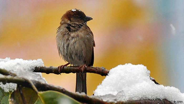 A sparrow sits on a branch in the snow (Photo: ISNA)