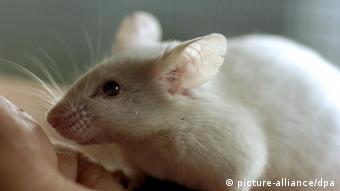 Піддослідна миша